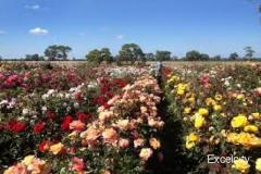 Sadanand Rose Nursery Mundhawa